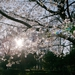Photo of the day: Sakura in Arisugawa Park