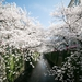 Photo of the day: Sakura along the Meguro River